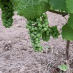 Winnica Knapow gmina Ćmielów winogrono owoc sadzonka winorośli liście